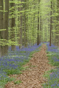 Belgium, Flanders, 'Hallerbos' (Forest), Beech Forest, Copper Beeches by Andreas Keil