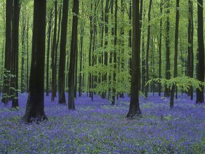 Belgium, Hallerbos, Beech Forest, Bluebells