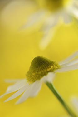Camomile, Matricaria Chamomilla, Blossom, Close-Up by Andreas Keil