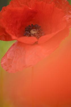 Corn Poppy, Papaver Rhoeas, Medium Close-Up by Andreas Keil