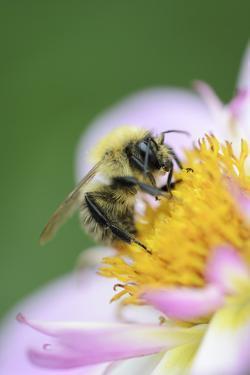 Dahlia 'Raisa', Dahlia X the Hortensis'Alpen Diamond', with Honeybee, Apis Mellifera by Andreas Keil