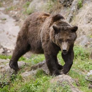 European Brown Bear, Ursus Arctos Arctos by Andreas Keil