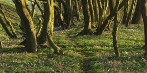 Forest with Hollowroot in the Spring, Germany, North Rhine-Westphalia, Troisdorf, Wahner Moor by Andreas Keil