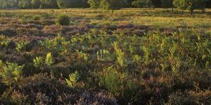 Germany, North Rhine-Westphalia, Wahner Heide, Broom Heather by Andreas Keil