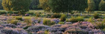 Germany, North Rhine-Westphalia, Wahner Heide, Heath Blossom in the Evening Light, Broom Heather by Andreas Keil