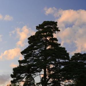 Germany, North Rhine-Westphalia, Wahner Moor, Pine in Front of Evening Sky by Andreas Keil
