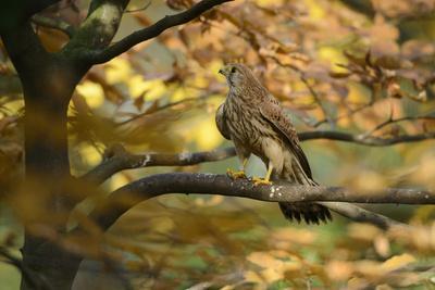 Kestrel, Falco Tinnunculus, Female