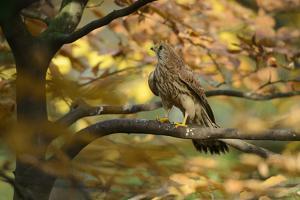 Kestrel, Falco Tinnunculus, Female by Andreas Keil