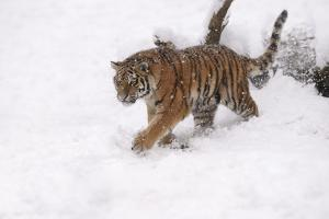 Siberian Tiger, Panthera Tigris Altaica, Subadult in Winter by Andreas Keil