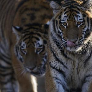 Siberian Tigers, Panthera Tigris Altaica, Subadults by Andreas Keil