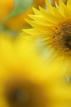 Sunflower, Helianthus Annuus, Blossom, Close-Up by Andreas Keil