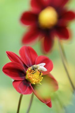 Top Mix Dahlia, Dahlia Hybrid 'Rood', with Honeybee, Apis Mellifera by Andreas Keil