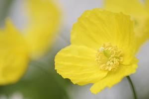 Yellow Poppy, Welsh Poppy, Meconopsis Cambrica by Andreas Keil