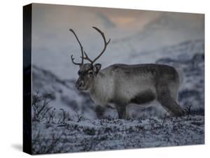 Roaming Reindeer by Andreas Stridsberg
