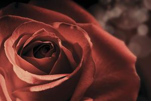 Vintage Rose by Andreas Stridsberg