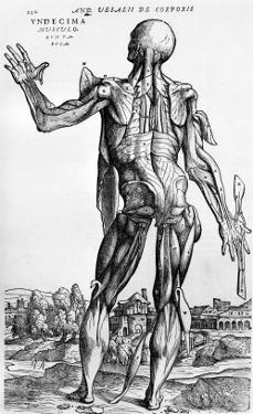 "Anatomical Study, Illustration from ""De Humani Corporis Fabrica"", 1543 by Andreas Vesalius"