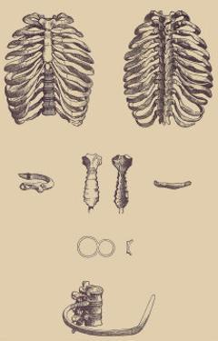 Ribcages by Andreas Vesalius