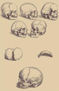 Skulls by Andreas Vesalius
