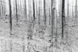 Bare Beech Forest in Winter, Abstract Study, Colour and Contrast Digitally Enhanced by Andreas Vitting