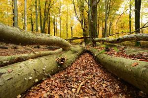 Deadwood, Nearly Natural Mixed Deciduous Forest with Old Oaks and Beeches, Spessart Nature Park by Andreas Vitting