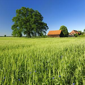 Germany, Mecklenburg-West Pomerania, Grain Field, Solitairy Oak, Hut by Andreas Vitting
