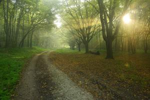 Germany, Saxony-Anhalt, Near Castle Freyburg Unstrut, Sunrays on Forest Path in the Morning Fog by Andreas Vitting