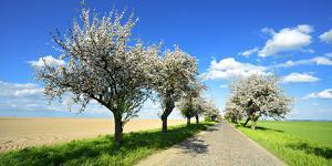 Germany, Saxony-Anhalt, Near Naumburg, Blossoming Cherry Trees at Country Road by Andreas Vitting