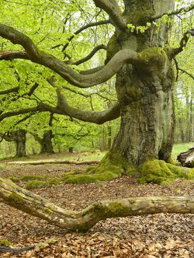Gnarly Old Beeches in a Former Pastoral Forest in Early Spring, Kellerwald, Hessen, Germany by Andreas Vitting