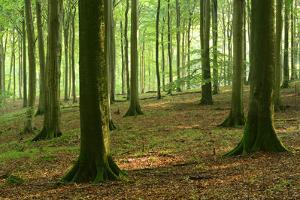 Near-Natural Beech Forest, Stubnitz, Island R?gen by Andreas Vitting
