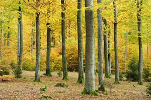 Nearly Natural Beeches Timber Forest in Autumn, Spessart Nature Park, Bavaria by Andreas Vitting