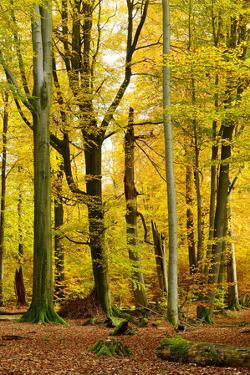 Nearly Natural Mixed Deciduous Forest with Old Oaks and Beeches in Autumn, Spessart Nature Park by Andreas Vitting