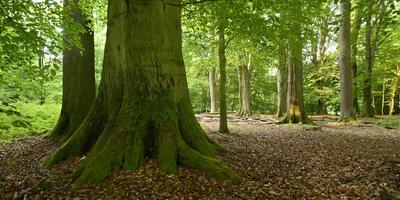 Old Gigantic Beeches in a Former Wood Pasture (Pastoral Forest), Sababurg, Hesse