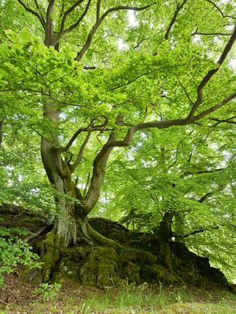 Old Grown Together Beeches on Moss Covered Rock, Kellerwald-Edersee National Park, Hesse, Germany
