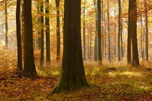 Sunny Beech Forest in Autumn, Harz, Near Allrode, Saxony-Anhalt, Germany by Andreas Vitting
