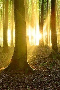 Sunrays in the Near-Natural Beech Forest after Shower, Stubnitz, Island RŸgen by Andreas Vitting