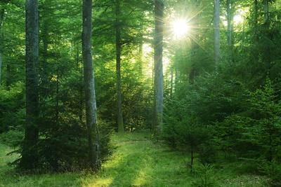The Morning Sun Is Breaking Through Nearly Natural Beeches Mixed Forest, Spessart Nature Park