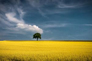 Lonely Tree in Rapeseed Field by Andreas Wonisch