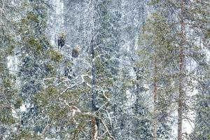 White-tailed eagle male and female perched on tree in snow, near Kuusamo, Finland by Andres M. Dominguez