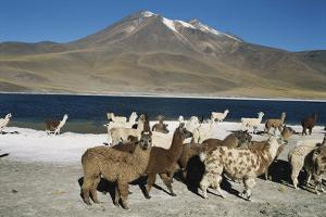 Altiplano, Chile, Close-Up of Llamas (Lama Glama) by Andres Morya Hinojosa