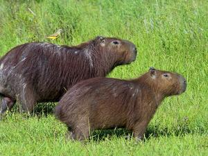 Capybara (Hydrochoerus Hydrochaeris), Corrientes, Argentina by Andres Morya Hinojosa