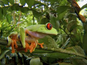 Central America Red-Eyed Treefrog (Agalychnis Callidryas), Central America, Costa Rica by Andres Morya Hinojosa