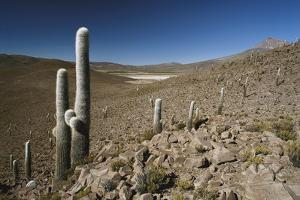Chile, Altiplano, Cariquima, Giant Cactuses (Echinopsis Atacamensis) by Andres Morya Hinojosa