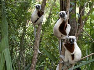 Coquerel's Sifakas, (Propithecus Coquereli), Madagascar by Andres Morya Hinojosa