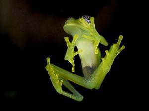 Fleischmann's Glass Frog (Hyalinobatrachium Fleischmanni), Costa Rica by Andres Morya Hinojosa