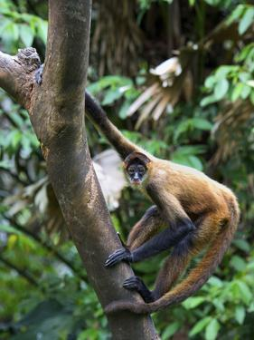 Geoffroy's Spider Monkey, Costa Rica by Andres Morya Hinojosa