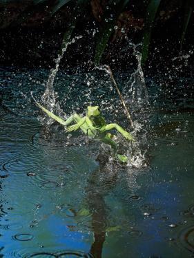 Green Basilisk or Plumed Basilisk Running on Water (Basiliscus Plumifrons), Costa Rica by Andres Morya Hinojosa