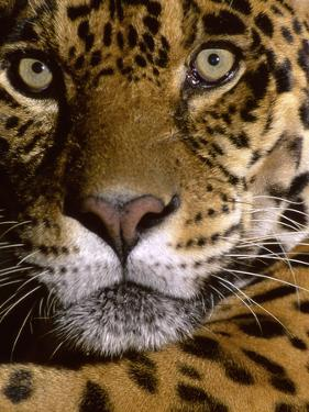 Jaguar Face (Panthera Onca), Amazon Basin, Peru by Andres Morya Hinojosa