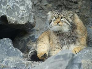 Pallas's Cat, Manul (Otocolobus Manul or Felis Manul) by Andres Morya Hinojosa