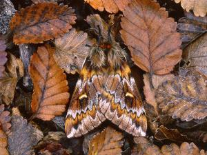 Temperate Rainforest Moth, La Araucania, Chile by Andres Morya Hinojosa