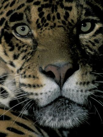 Jaguar, Madre de Dios, Peru